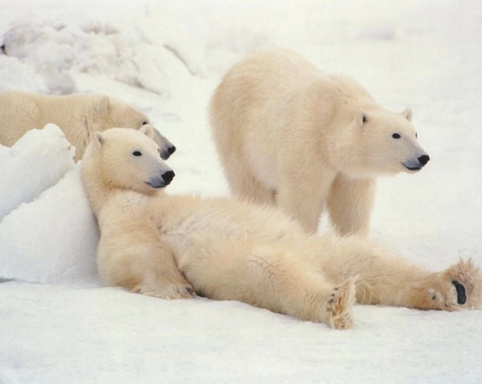 white-polar-bears